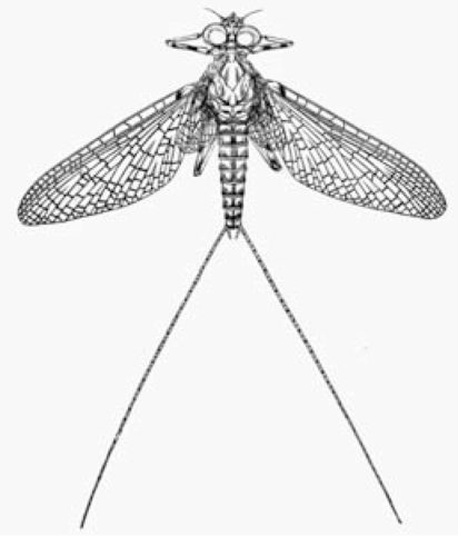 Ephemerella inermis - Colin Martin on Gaylord Schanilec, Mayflies of the Driftless Region - Slightly Foxed Issue 6