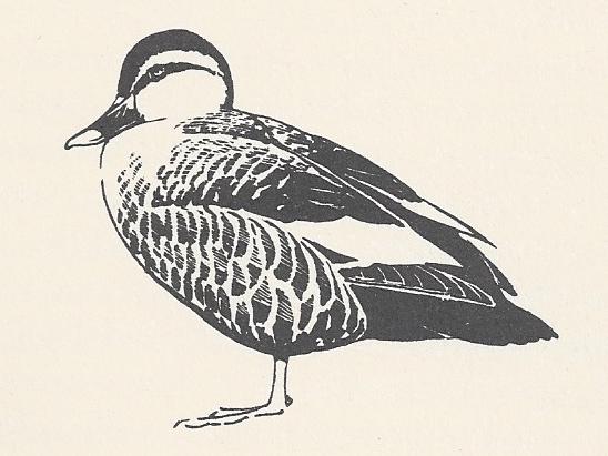 Galen O'Hanlon on Dillon Ripley, A Paddling of Ducks