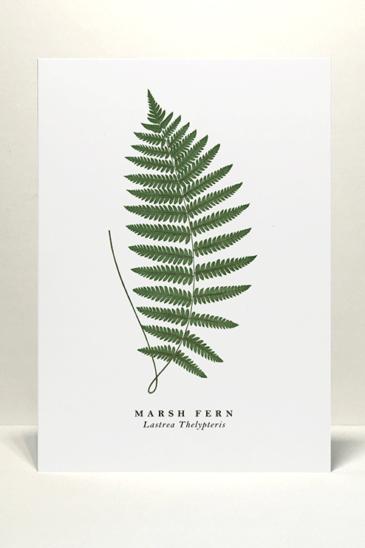 Marsh Fern