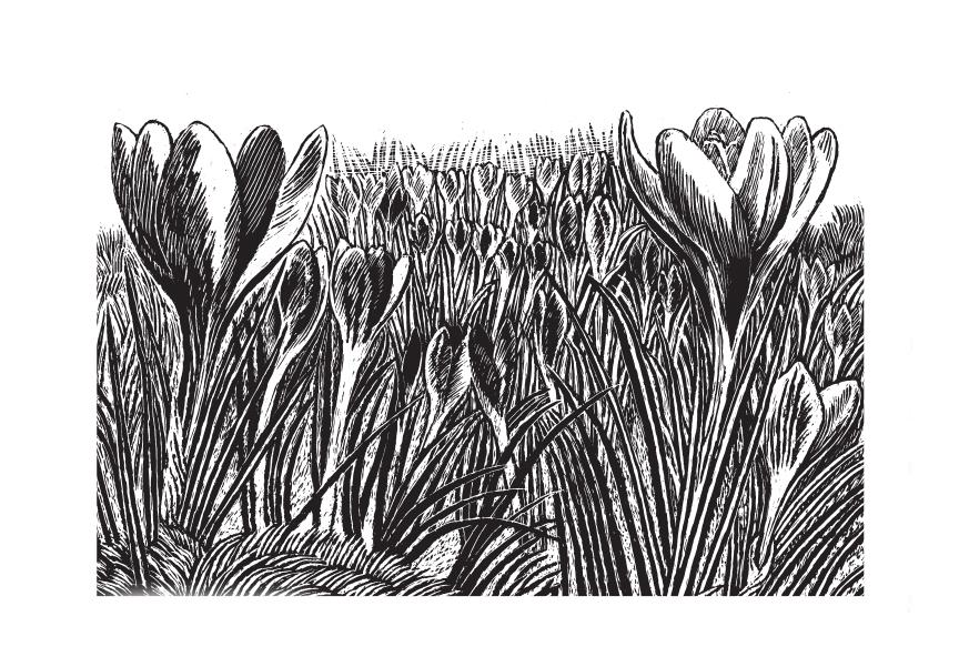 Rosalind Bliss, Crocuses - Issue 33