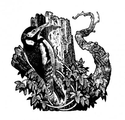 Woodpecker Ian Stephens