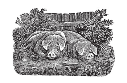 Ian Stephens - Pigs