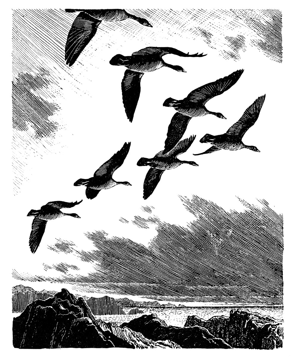 C. F. Tunnicliffe - Geese