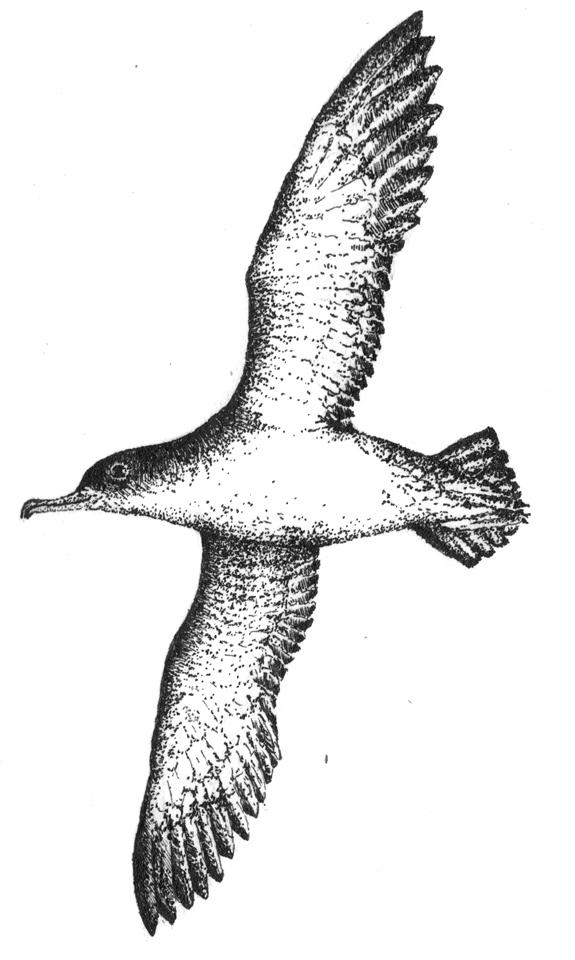 Cheryl Tipp on Ludwig Koch, Memoirs of a Birdman