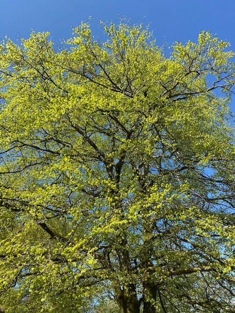 Beech Tree | Editors' Diary