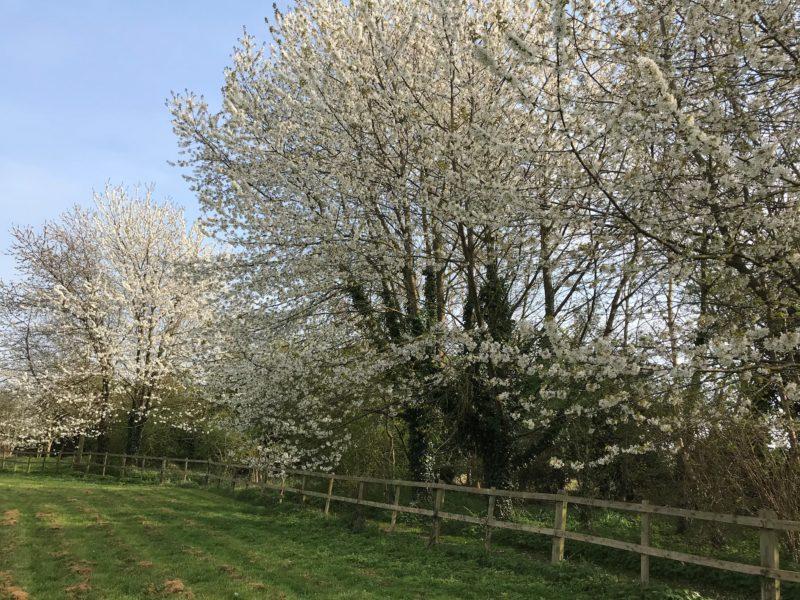 Ursula Buchan's Cherry Trees | Editors' Diary