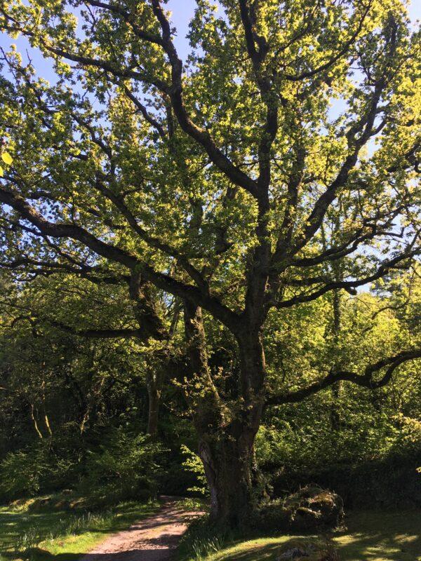 Oak tree | Editors' Diary