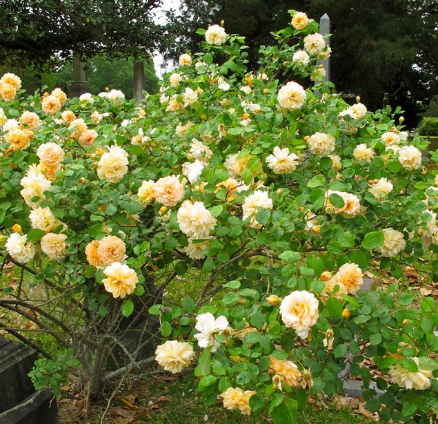 Buff Beauty Rose | Editors' Diary