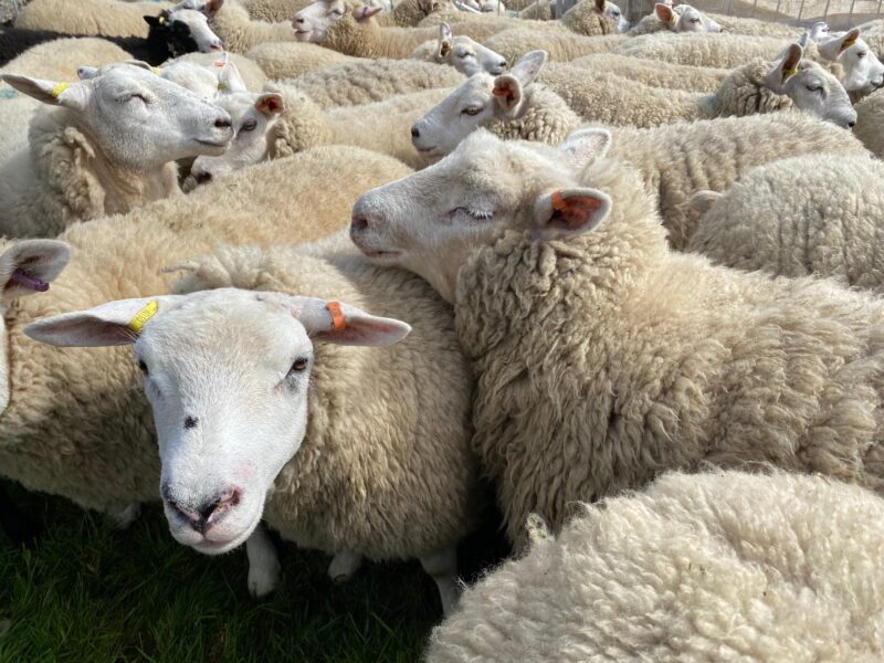 Sheep to be shorn | Editors' Diary