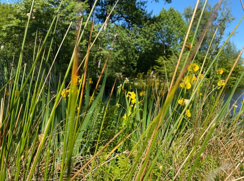 Yellow irises | Slightly Foxed Editors' Diary
