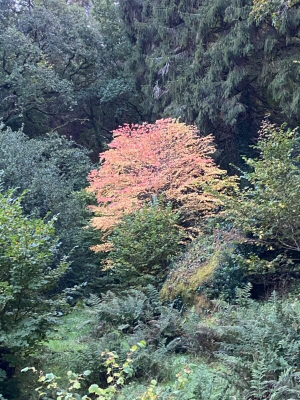 Cercidiphyllum japonicum | Slightly Foxed Editors' Diary