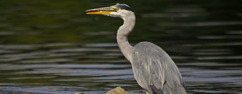 Grey heron, credit: Neil Aldridge | Slightly Foxed Editors' Diary